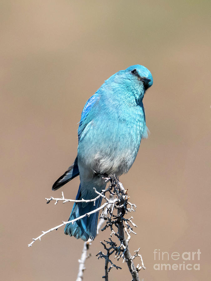 Mountain Bluebird Photograph - You Lookiing At Me by Mike Dawson