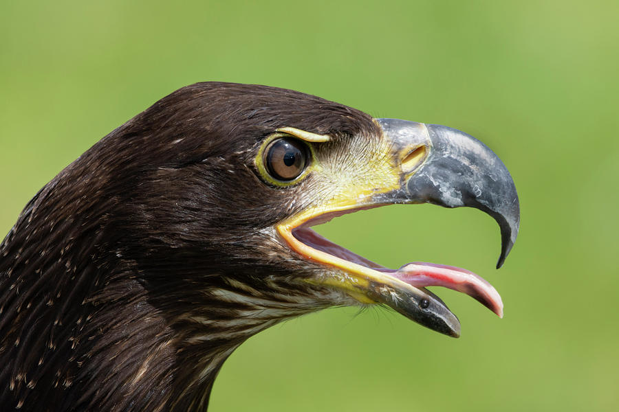 Eagle Photograph - Young Bald Eagle 2 by Steev Stamford