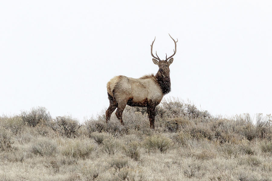 Young Bull Elk by Ronnie and Frances Howard