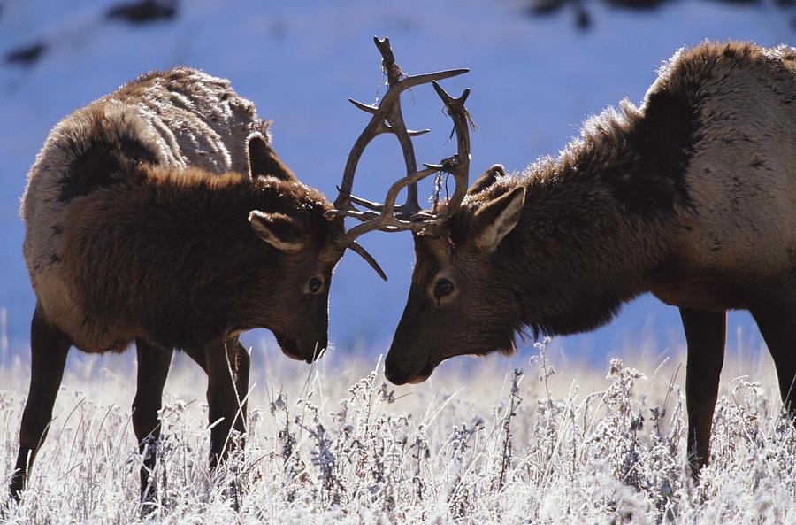 Young Bull Rocky Mountain Elk Cervus Photograph by Riccardo Savi
