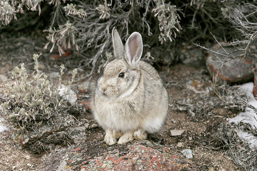 Young Bunny  by Ronnie and Frances Howard