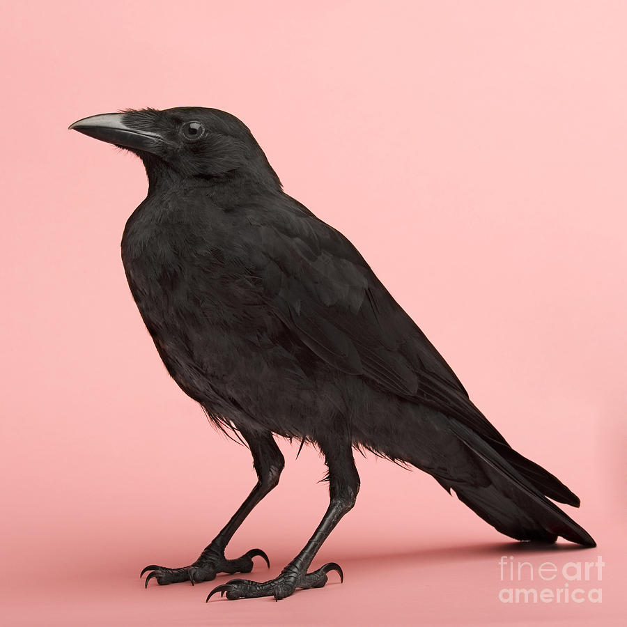 Studio Photograph - Young Carrion Crow - Corvus Corone 3 by Eric Isselee