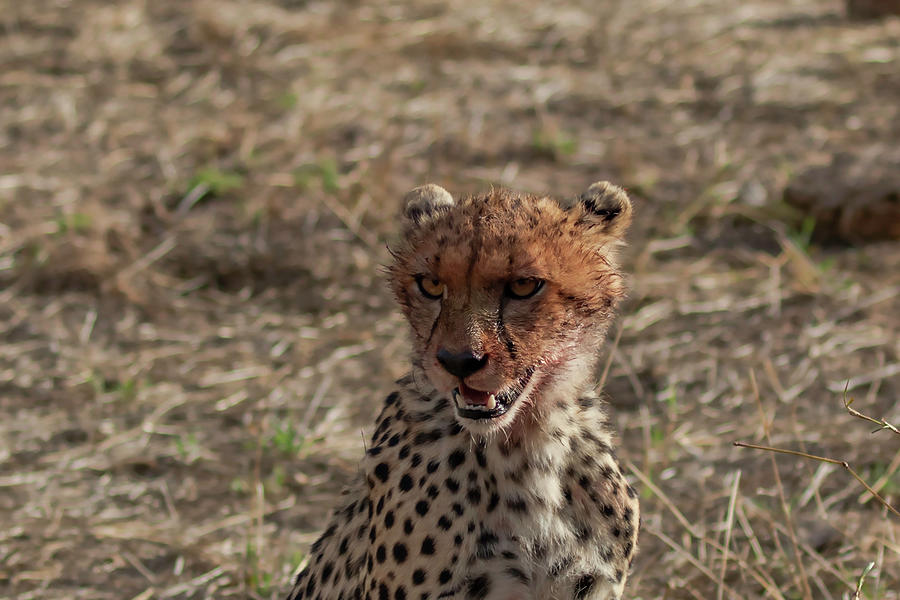 Young Photograph - Young Cheetah by Thomas Kallmeyer