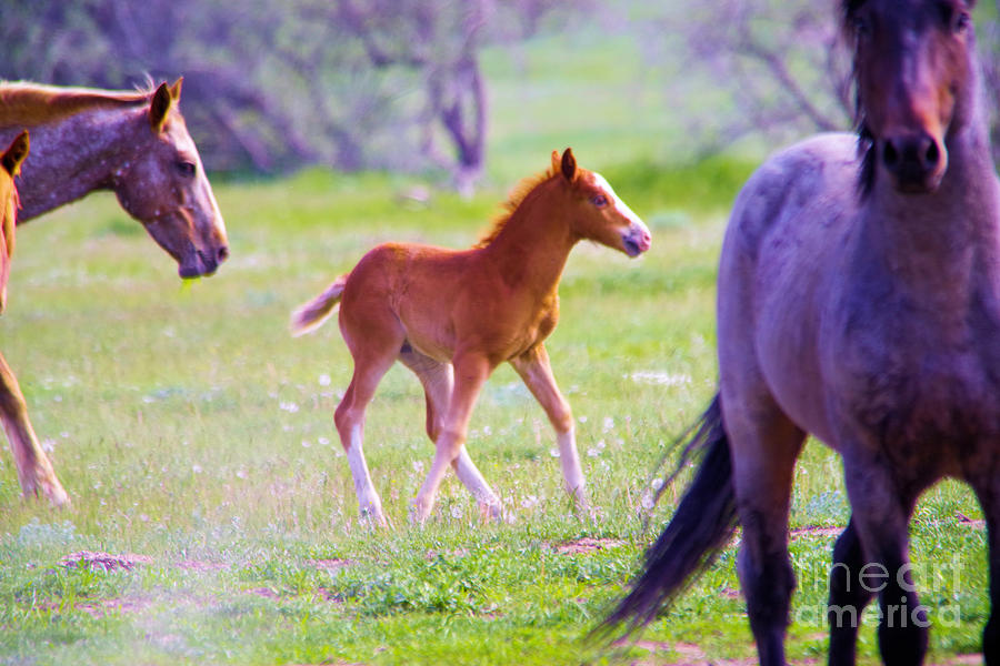 Horse Photograph - Young Colt Guarded By A Stallion by Jeff Swan