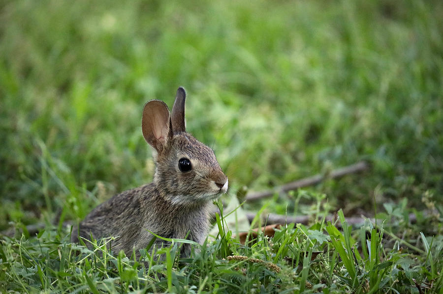 Young Cottontail Rabbit by Rachel Morrison