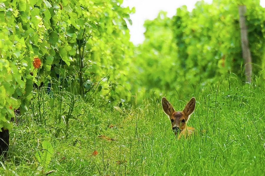 Young Deer In The Vineyard Photograph by Joerg Reichel