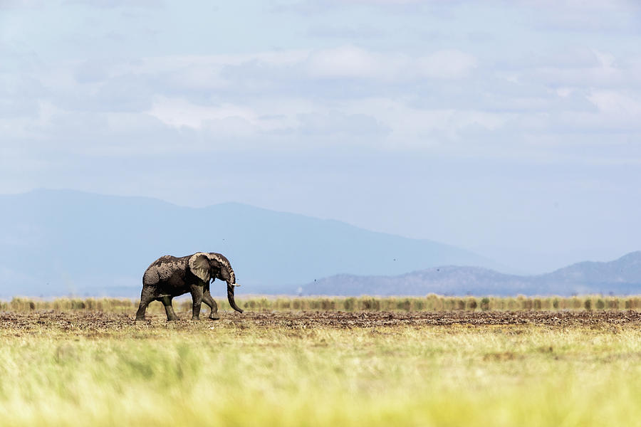 Young Elephant Walking Alone in Amboseli Kenya by Susan Schmitz