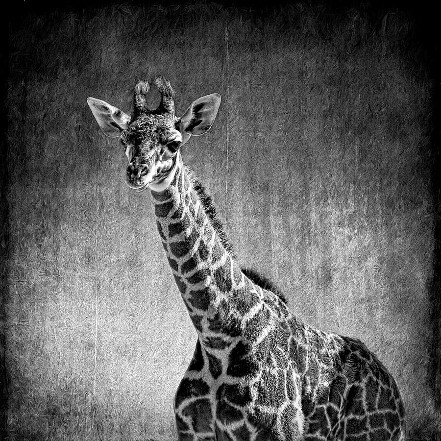 Giraffe Photograph - Young Giraffe Black And White by Judy Vincent