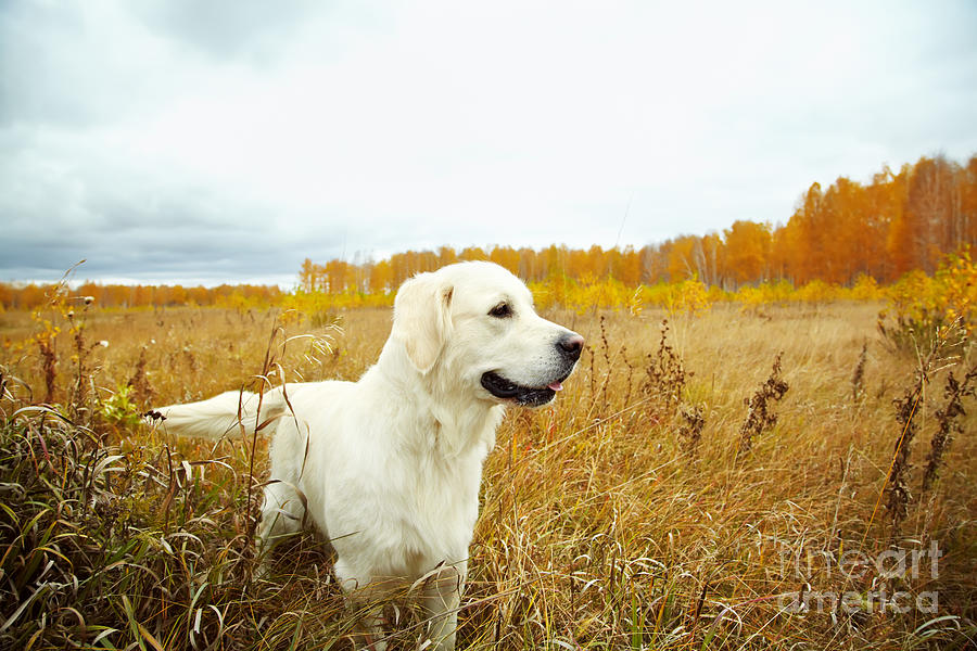 Handsome Photograph - Young Golden Retriever For A Walk by Evgeny Bakharev