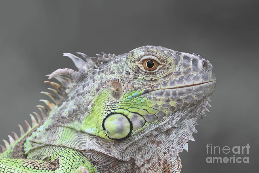 Young Green Iguana V2 by Judy Whitton