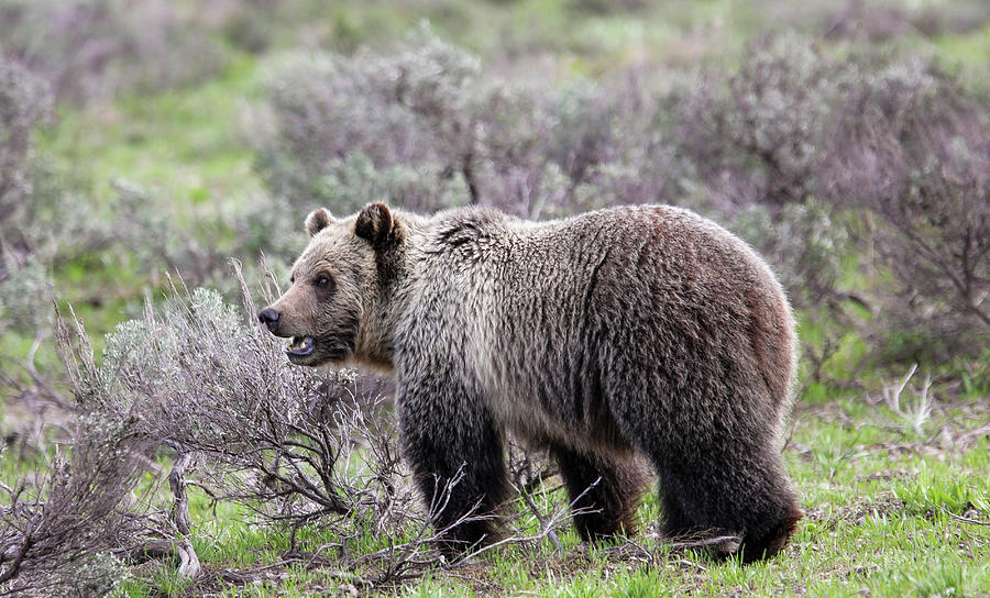 Young Grizzly by Ronnie and Frances Howard