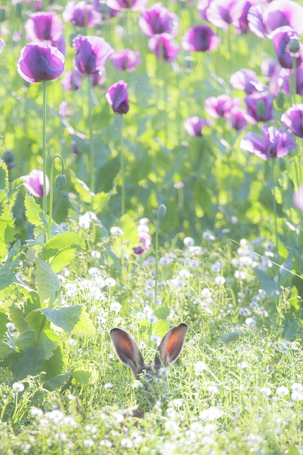 Young hare hiding amongst purple poppies by Anita Nicholson