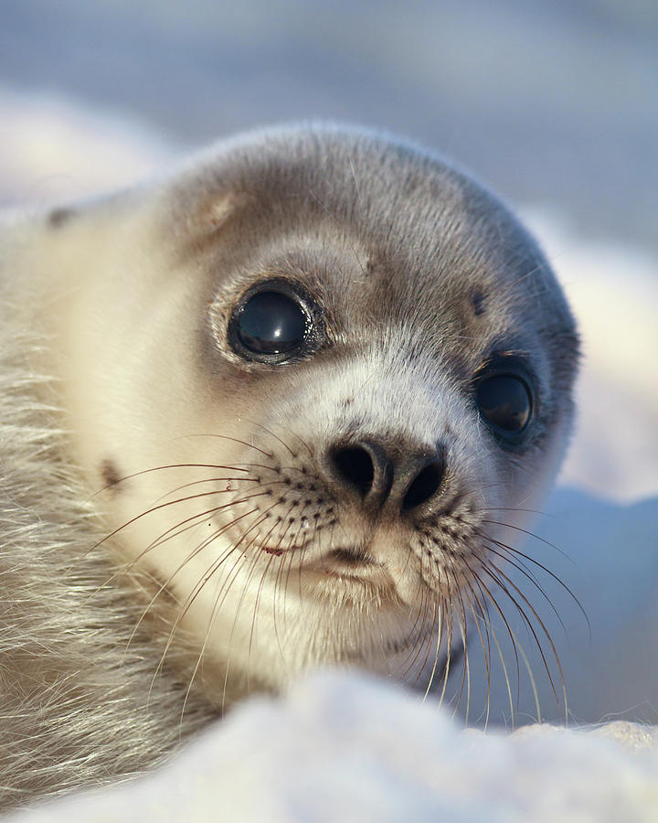 Young Harp Seal Photograph by Stephen Desroches