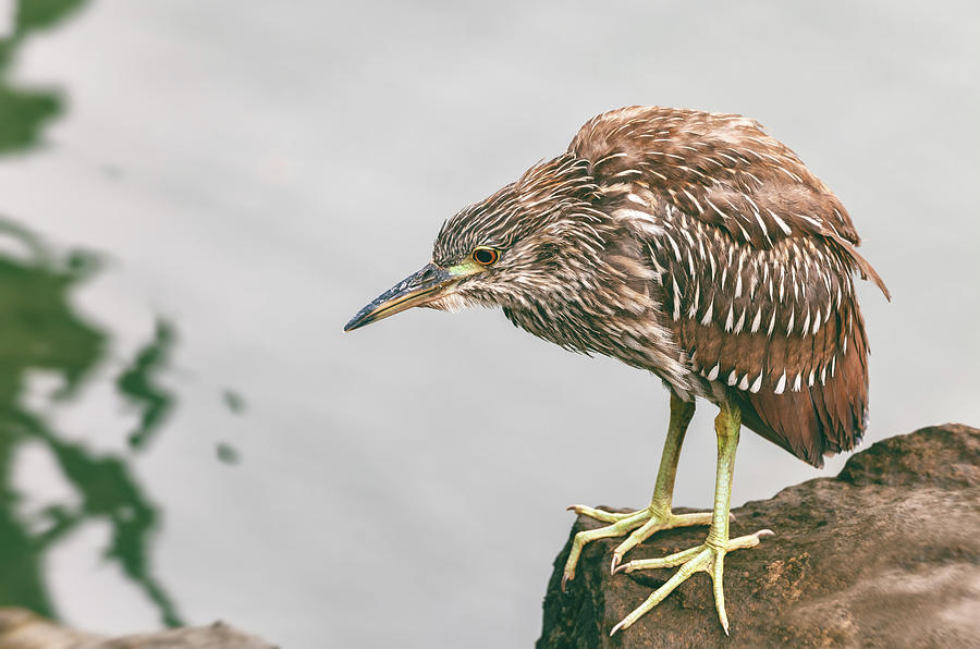 young heron by Jonathan Nguyen