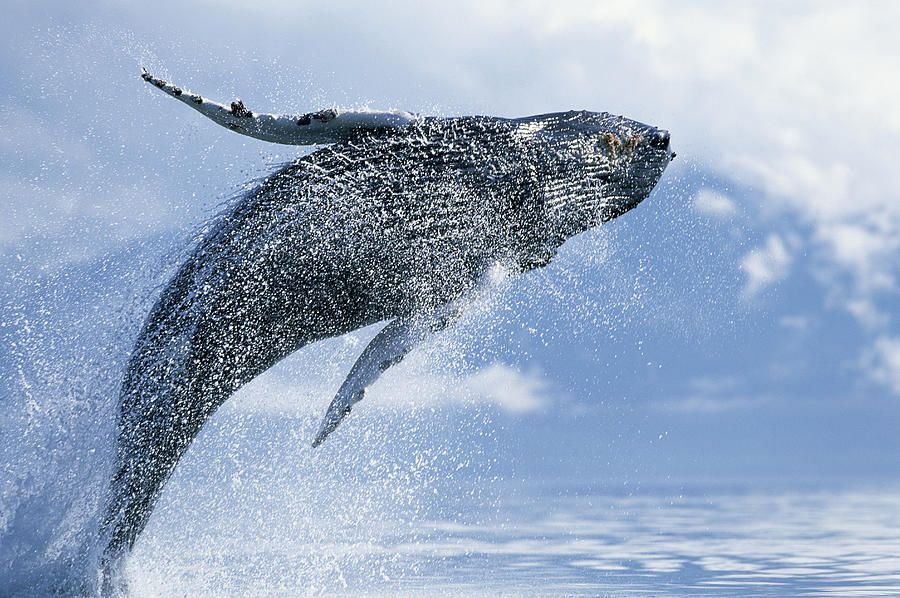 Young Humpback Whale Megaptera Photograph by Paul Souders
