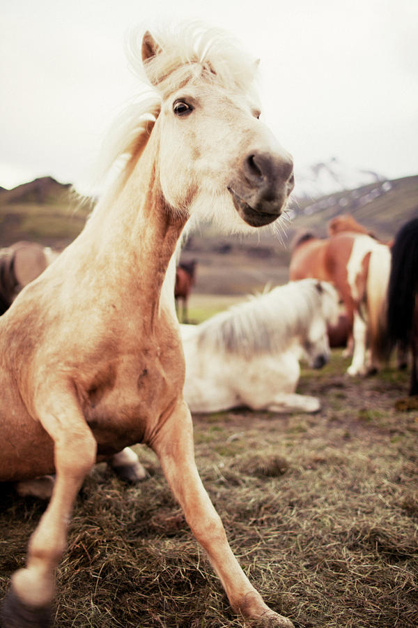 Young Icelandic Horse Photograph by Johner Images
