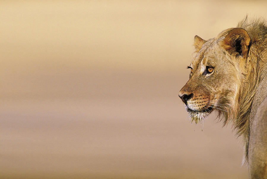 Young Male Lion Panthera Leo On The Photograph by Heinrich Van Den Berg