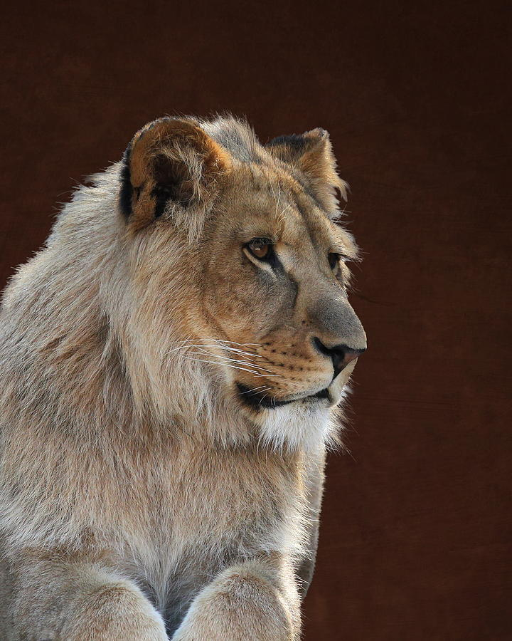 Young Male Lion Portrait by Debi Dalio