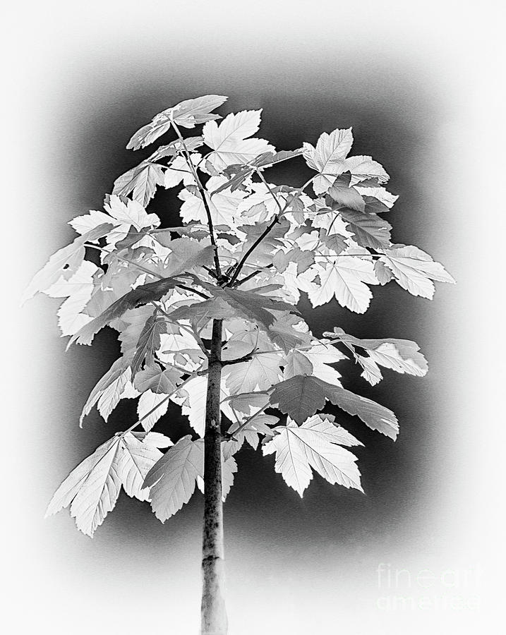 Young Maple Tree In Infrared Photograph