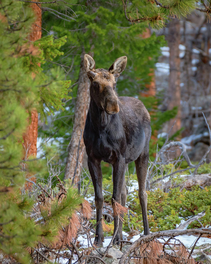 Young Moose in the Morning Forest by Gary Kochel