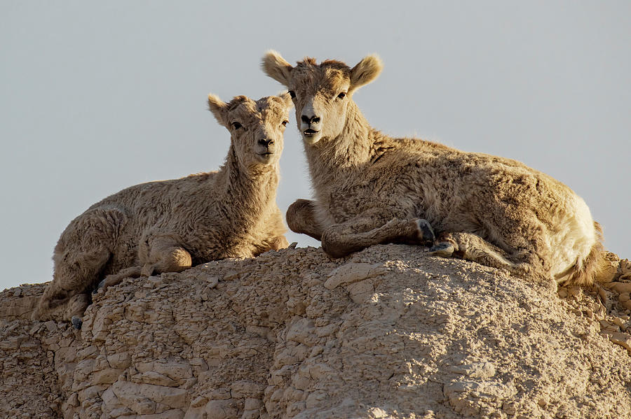 Young Mountain Sheep in Badlands National Park by Art Whitton