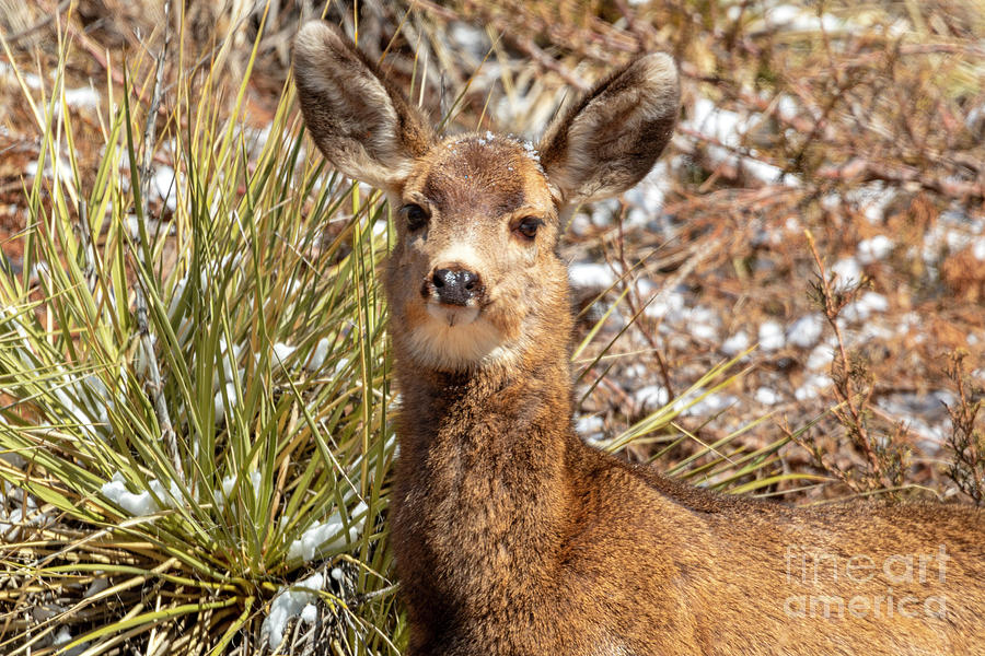 Young Mule Deer In Snow Photograph