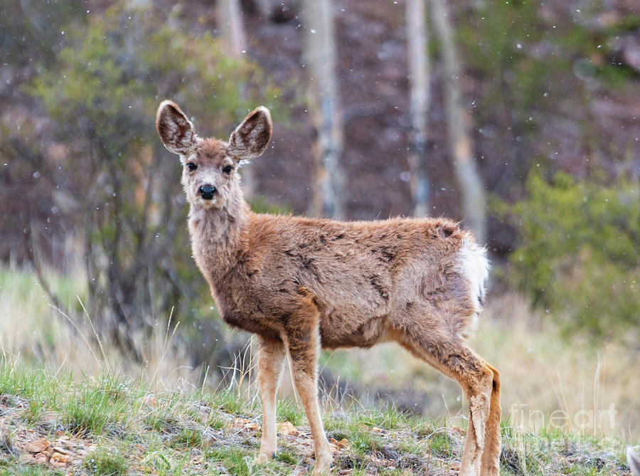 Young Mule Deer On A Snowy Morning Photograph