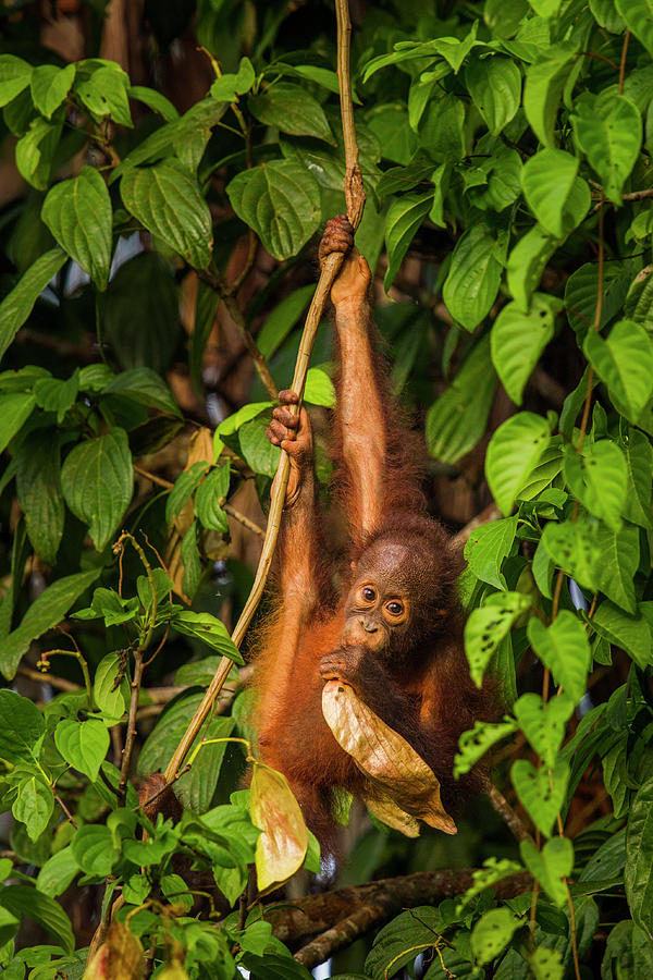 Young Orangutan Playing With Leaf Photograph by Sebastian Kennerknecht