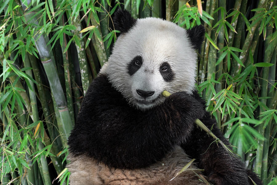 Young Panda Bear in Bamboo Forest by Arterra Picture Library