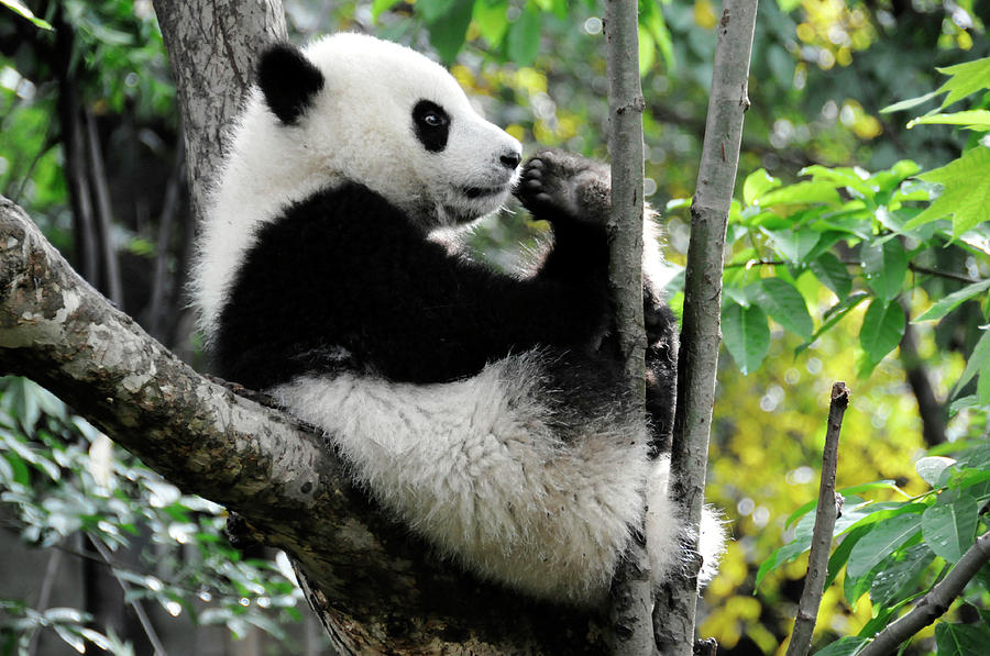 Young Panda In Tree Photograph by Bwbimages