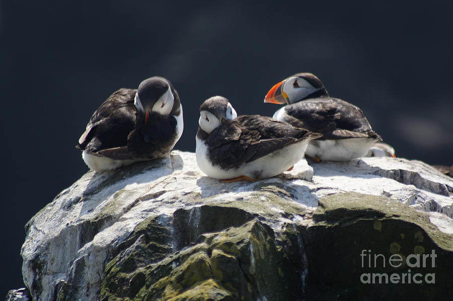 Young puffins on clifftop. by David Birchall