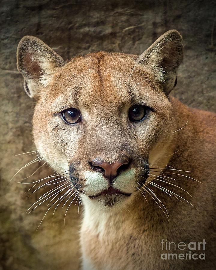 Young Puma by Susan Rydberg