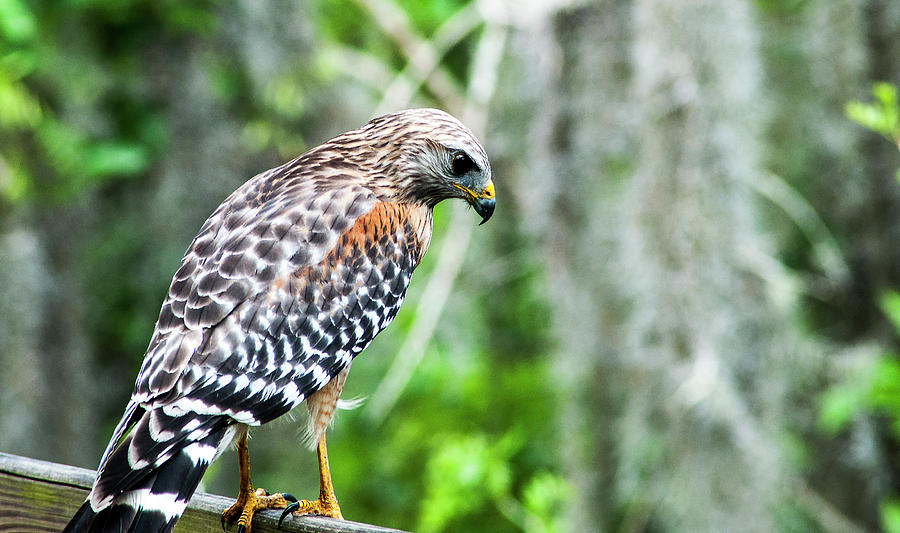 Red Shouldered Hawk Photograph - Young Red-Shouldered Hawk by Norman Johnson