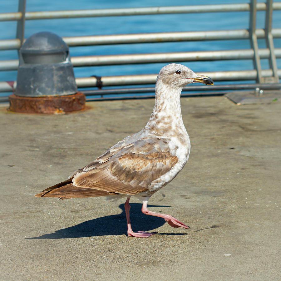 Young Seagull Takes a Walk by Bonnie Follett