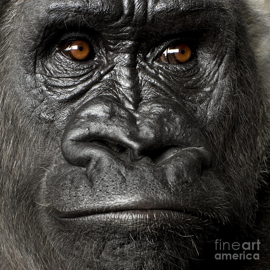 Studio Photograph - Young Silverback Gorilla In Front by Eric Isselee