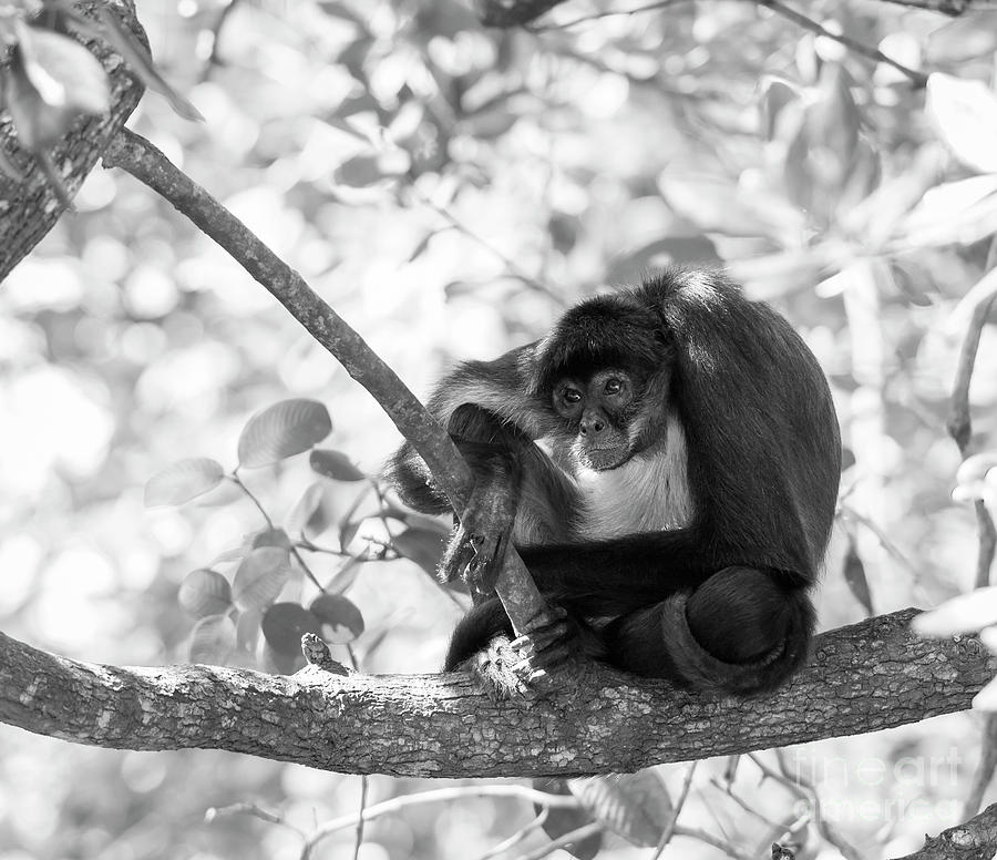 Yucatan Spider Monkey Black and White by Tim Hester