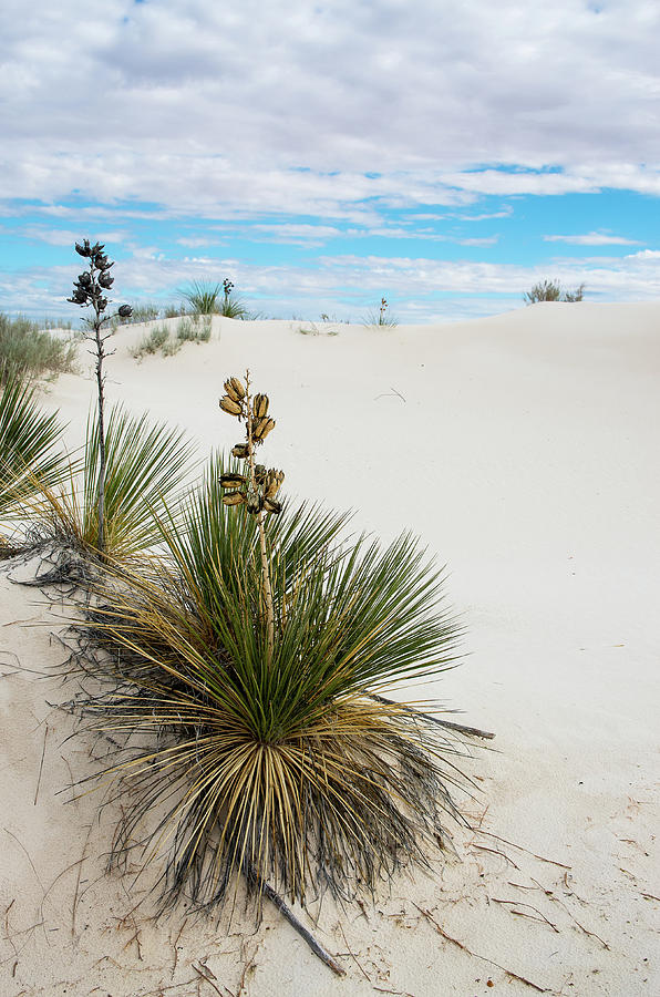 Yucca at White Sands by Adam Reinhart