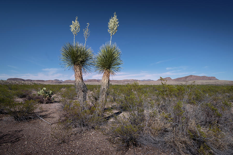Yucca Cactus by Dean Ginther