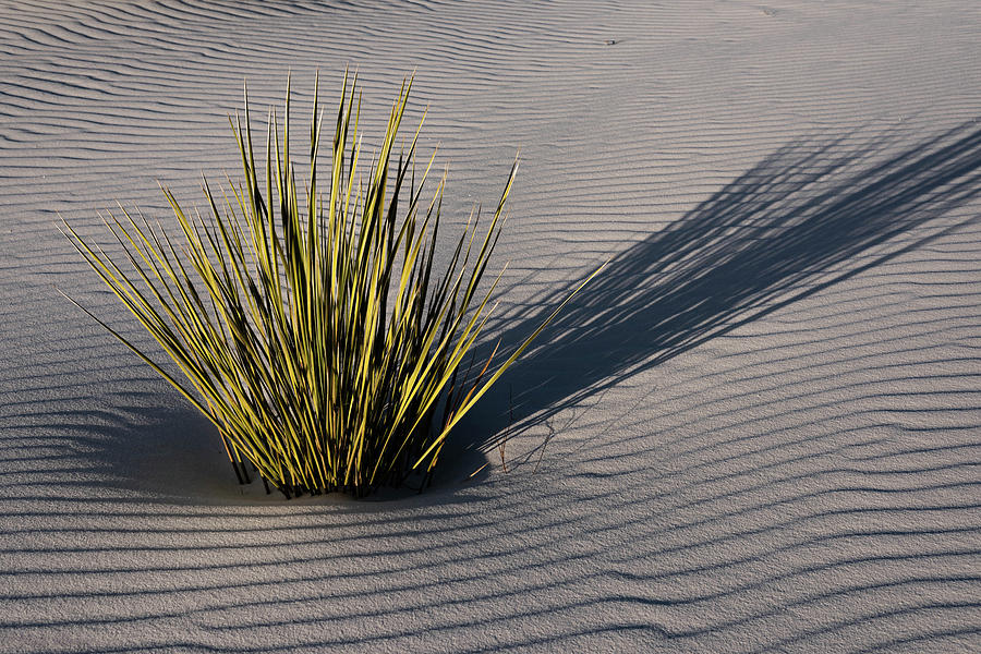Yucca by Jody Partin