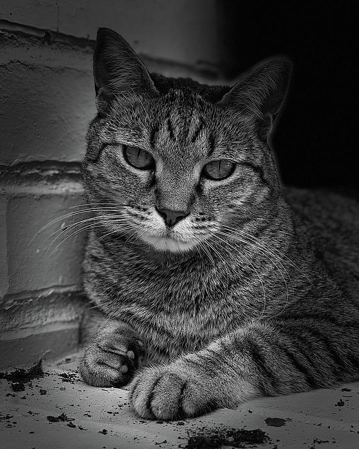 Yuki Cat Bw Portrait Photograph