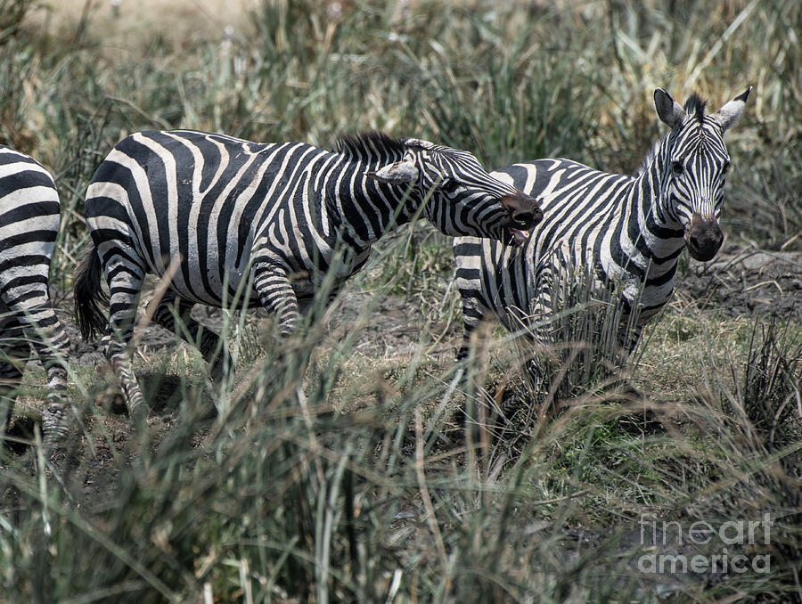 Zebra aggressive by Steve Somerville