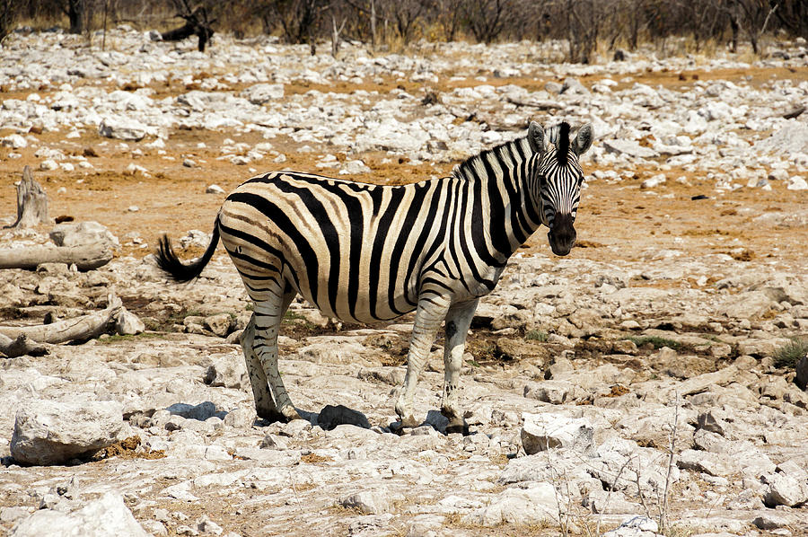 Zebra And White Rocks Photograph by Taken By Chrbhm