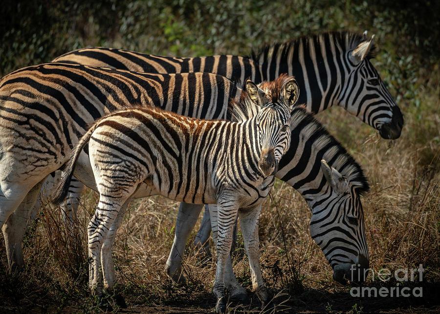 Zebra Baby by Jamie Pham