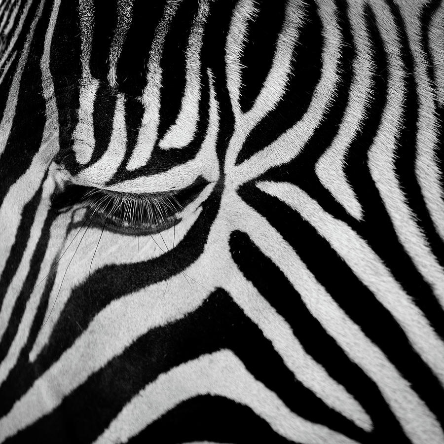 Zebra Photograph by Billy Currie Photography
