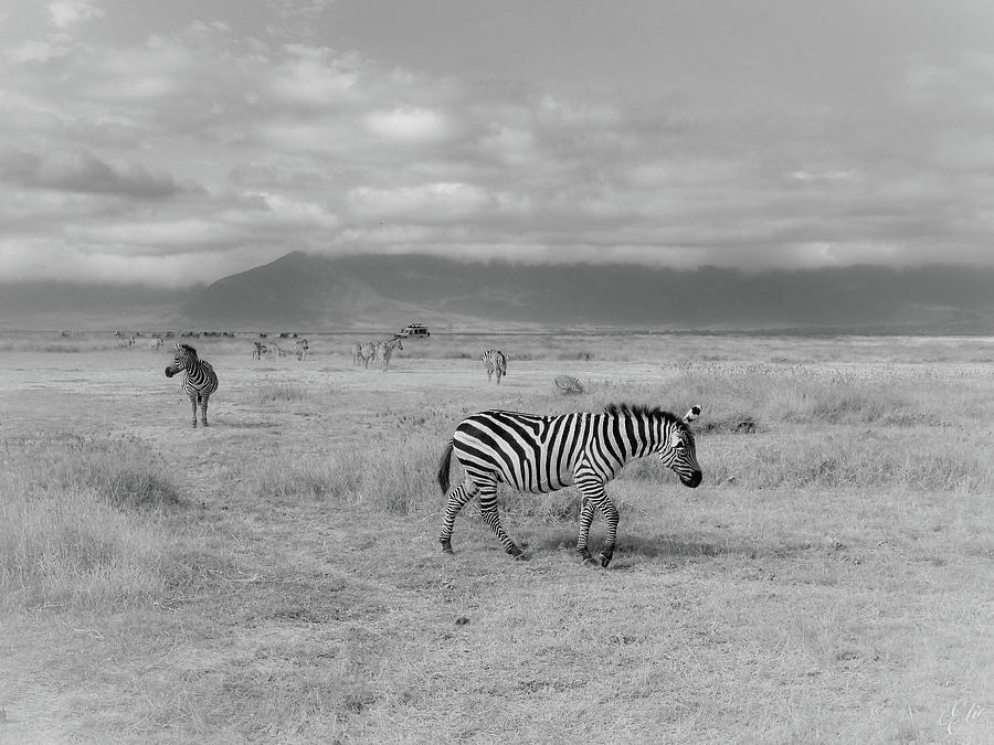 ZEBRA CROSSING by Elie Wolf