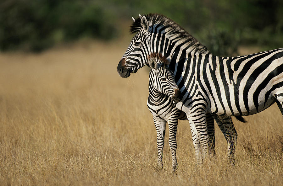 Zebra Eqqus Burchelli With Colt, Savuti Photograph by Paul Souders