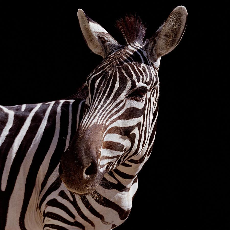Zebra Equus Sp., Close-up Photograph by Chad Baker/jason Reed/ryan Mcvay