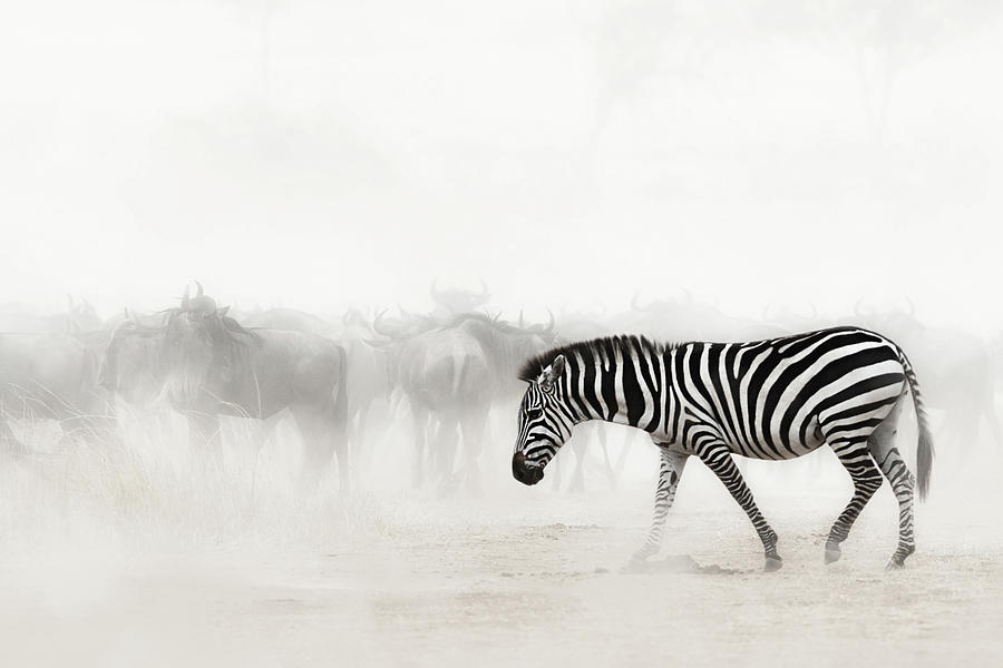 Zebra in Dust of Africa by Susan Schmitz