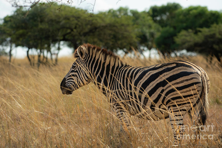 Zebra In Grass Photograph