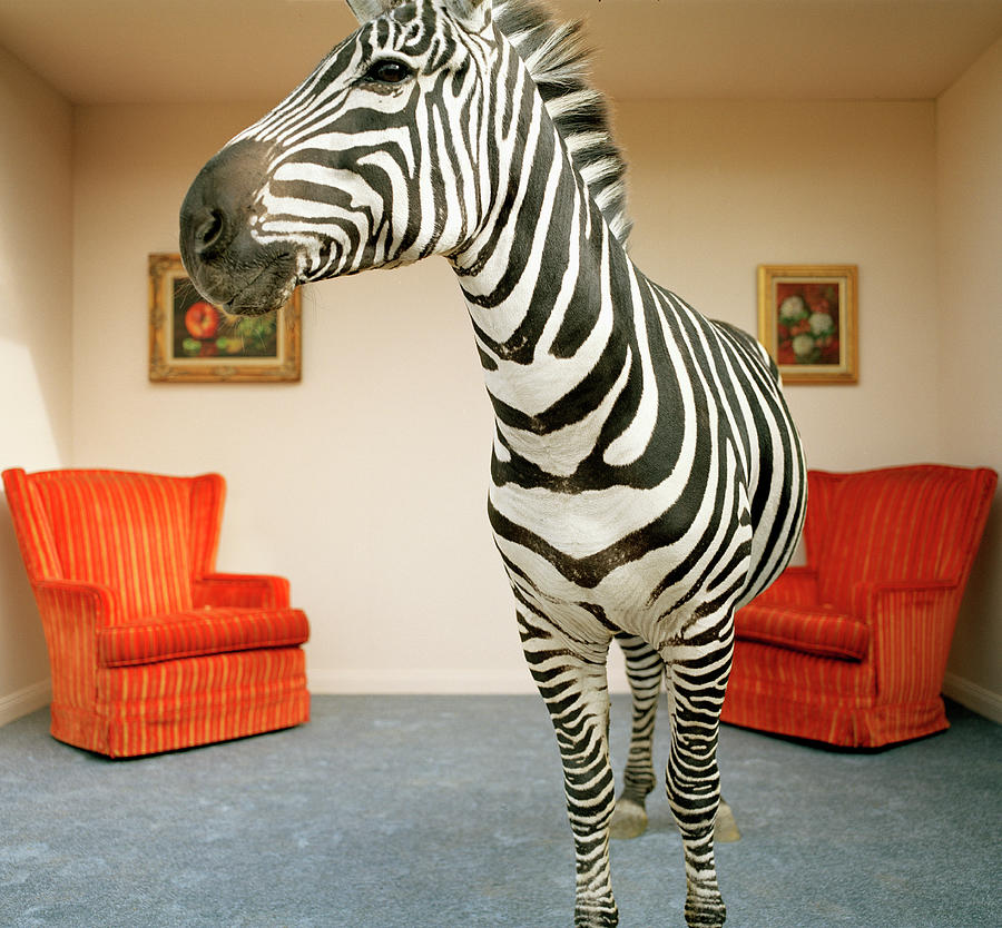 Zebra In Living Room Photograph by Matthias Clamer